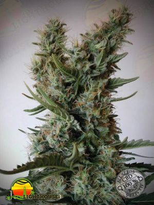 Jack Ultra CBD (Elite Seeds)