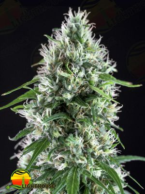 Txees Bilbo (Cheese) (Genehtik Seeds)