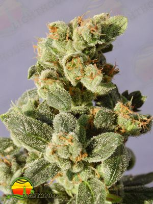 Gnomo Auto (Kannabia Seeds)