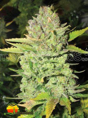 Devil Fruit (Medical Seeds)