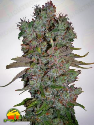 Blueberry Domina Auto (Ministry of Cannabis)