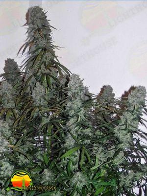 Quick Flowering THC (Phoenix Seeds)
