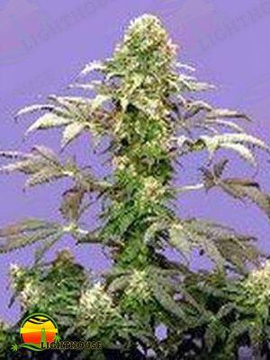 Matanuska Tundra (Sagarmatha Seeds)
