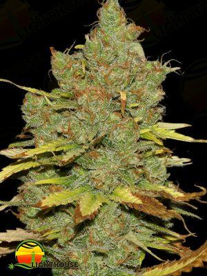 C99 x Blueberry FAST (Seedsman)