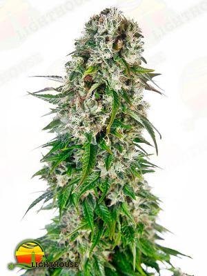 Big Bud Auto (Sensi Seeds)