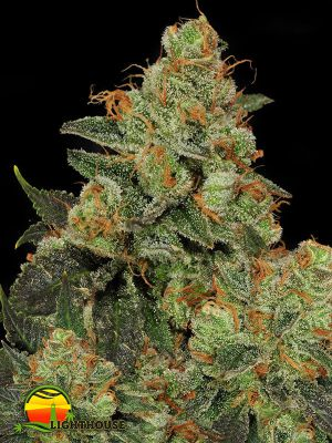 Bubble Gum (T.H.Seeds)