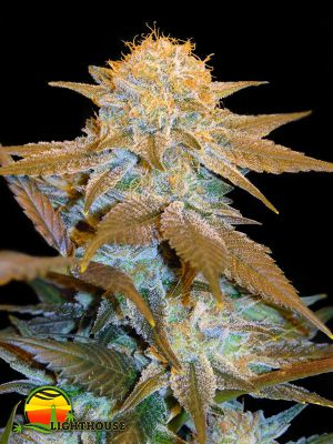 Critical Hog (T.H.Seeds)