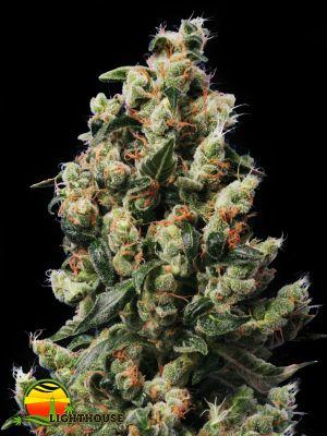 Kushage (T.H.Seeds)