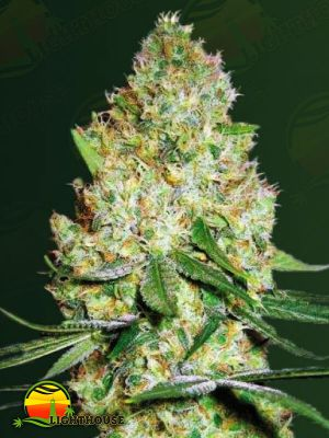 Chronic Monster XXL (Victory Seeds)