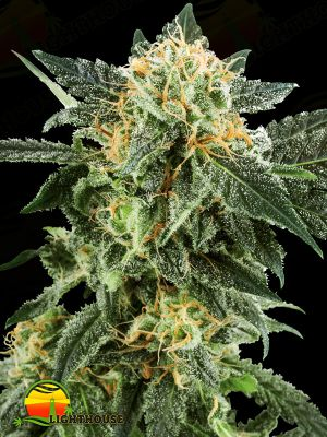 Snow Ryder Auto (White Label Seed Company)