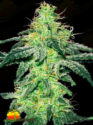 White Skunk (White Label Seed Company)