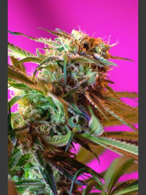 Wild Rose Feminised Seeds