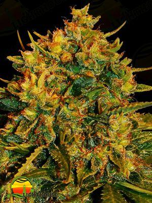 Northern Lights x Big Bud Ryder Auto (World of Seeds)