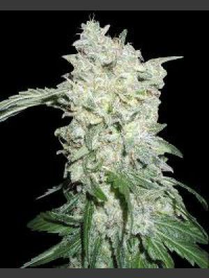 Afghan Kush Special Feminised Seeds