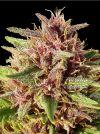 Erdpurt Regular (Ace Seeds)