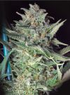 Big Skunk Regular Seeds