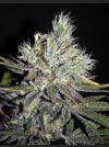 CBD Sweet 'n Sour Widow REGULAR - 5 Seeds