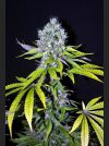 CBD Yummy Feminised - 5 Seeds