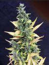 Chronic Ryder Autoflowering Feminised Seeds