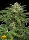 Haze CBD Auto (Dinafem Seeds)