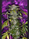 Deep Purple Regular Seeds