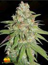 Glueberry O.G. (Dutch Passion)