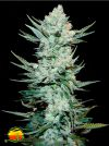 Tangie'matic Auto (FastBuds Seeds)