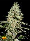 Super Critical (Greenhouse Seed Co.)
