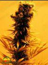 Raspberry Cough (Nirvana Seeds)