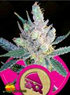 Royal Cheese  FAST (Royal Queen Seeds)