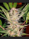 S.A.D. Feminised Seeds
