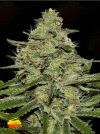 CBD Critical Mass (Seedsman)