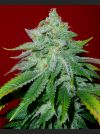 Starlet Kush Regular Seeds