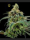 Training Day Feminised Seeds - Limited Collection