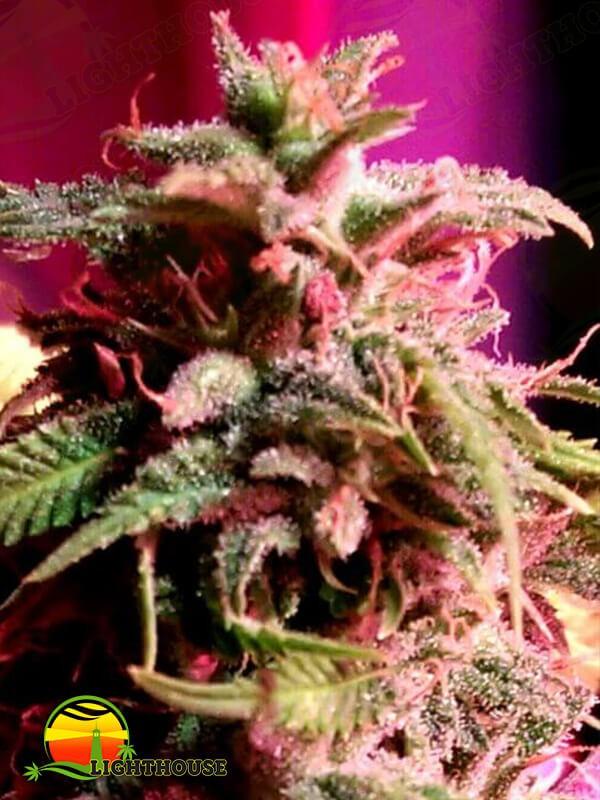 Strawberry StarDawg (Holy Smoke Seeds)