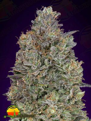 Critical Purple Kush (Advanced Seeds)