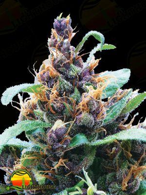 Purple Stilton Auto (Auto Seeds)