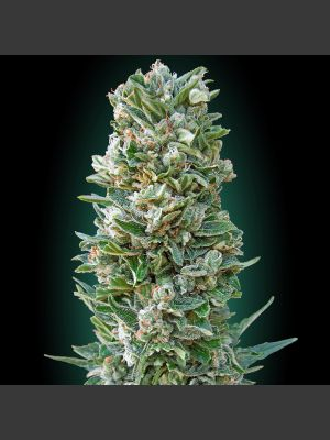 Collection #3 AUTOMATIC (Advanced Seeds)