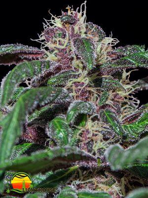 Ayahuasca Purple (Barney's Farm)