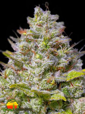 Blue Gelato 41 (Dinafem Seeds)