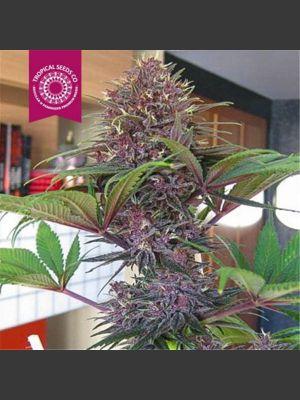 Bisho Purple Feminised Seeds