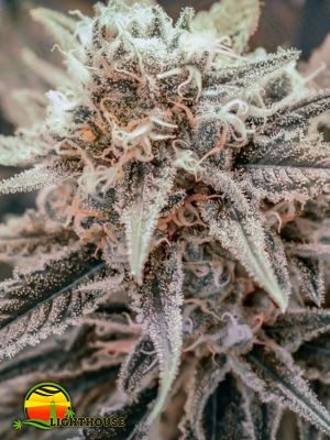 Killer Queen (Brothers Grimm Seeds)