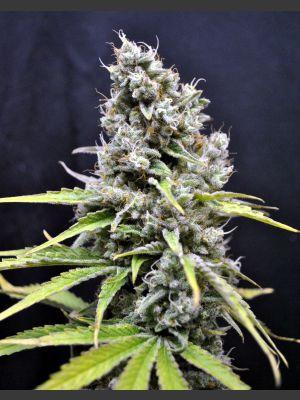 CBD Skunk Haze Feminised - 5 Seeds