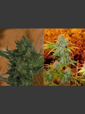 Critical Haze Feminised Seeds