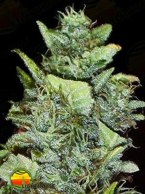 Bubba Gum Auto (Dr Krippling Seeds)