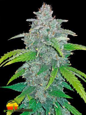 Blue Dream'matic (FastBuds Seeds)