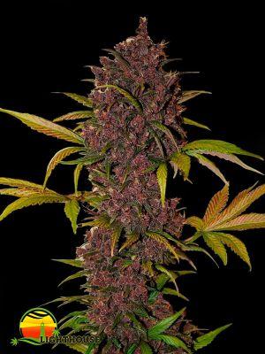 LSD-25 Auto (FastBuds Seeds)