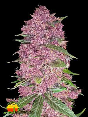 Purple Lemonade Auto (FastBuds Seeds)