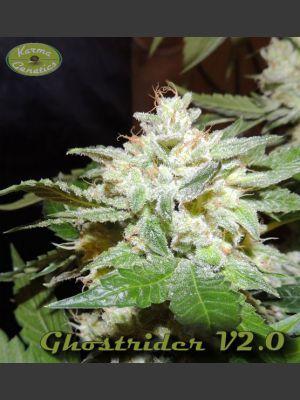 Ghostrider V2.0 Regular Seeds