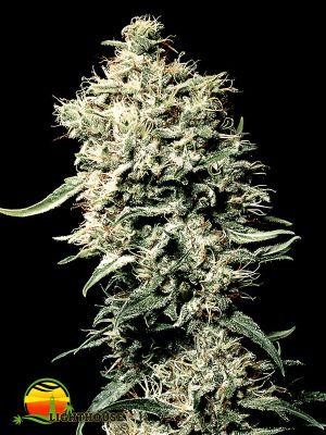 White Rhino (Greenhouse Seed Co.)